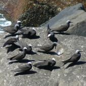 Black noddy. Roosting adults and immatures. Norfolk Island, December 2008. Image © Joke Baars by Joke Baars