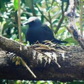 Black noddy. Adult on nest. Norfolk Island, December 2008. Image © Joke Baars by Joke Baars