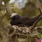 Black noddy. Adult on nest. Phillip Island, Norfolk Island, January 2017. Image © Imogen Warren by Imogen Warren