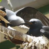 Black noddy. Adult feeding mate at nest. Lady Elliot Island, Queensland, Australia, November 2012. Image © Colin Ogle by Colin Ogle
