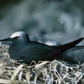 Black noddy. Adult on nest. Macauley Island, Kermadec Islands, August 1966. Image © Department of Conservation (image ref: 10031279) by Brian Bell Courtesy of Department of Conservation