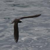 Black noddy. Adult in flight. Raoul Island, Kermadec Islands. Image © Gareth Rapley by Gareth Rapley