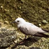 Grey noddy. Adult on ground. Macauley Island, November 1988. Image © Graeme Taylor by Graeme Taylor