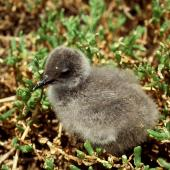 Grey noddy. Chick in nest. Curtis Island, October 1989. Image © Graeme Taylor by Graeme Taylor