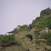 Grey noddy. Roosting adults. Macauley Island, August 2002. Image © Terry Greene by Terry Greene