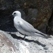 Grey noddy. Adult roosting. Sugarloaf Rock, Poor Knights Islands, February 2018. Image © Scott Brooks (ourspot) by Scott Brooks