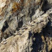 Grey noddy. Twenty-one roosting adults. Sugarloaf Rock, Poor Knights Islands, February 2018. Image © Scott Brooks (ourspot) by Scott Brooks