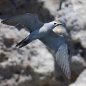 Grey noddy. Adult in flight. Sugarloaf, Poor Knights Islands, January 2021. Image © Scott Brooks (ourspot) by Scott Brooks