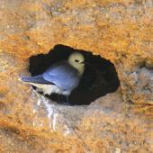Grey noddy. Adult at nest site. Phillip Island, Norfolk Island, December 2008. Image © Joke Baars by Joke Baars