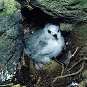 Grey noddy. Chick on nest. North Meyer Islet, Kermadec Islands, November 1966. Image © Department of Conservation (image ref: 10037094) by Don Merton, Department of Conservation Courtesy of Department of Conservation