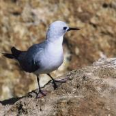 Grey noddy. Adult. Kermadec Islands. Image © Department of Conservation (image ref: 10055123) by Department of Conservation Courtesy of Department of Conservation