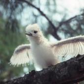 White tern. Chick on nest. Midway Island, Hawaii, July 1993. Image © Graeme Taylor by Graeme Taylor
