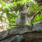 White tern. Chick. Henderson Island, Pitcairn group, October 2011. Image © Matt Charteris by Matt Charteris