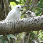 White tern. Adult and chick. Henderson Island, Pitcairn group, October 2011. Image © Matt Charteris by Matt Charteris