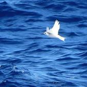 White tern. Adult in flight. Kermadec Islands, March 2021. Image © Scott Brooks (ourspot) by Scott Brooks