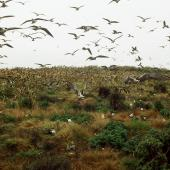 Sooty tern. Adults in flight at colony. Macauley Island, December 1988. Image © Graeme Taylor by Graeme Taylor