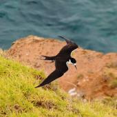 Sooty tern. Adult in flight, dorsal. Norfolk Island, November 2016. Image © Ian Armitage by Ian Armitage