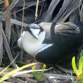 Sooty tern. Adult on nest with egg. Phillip Island, Norfolk Island, December 2008. Image © Joke Baars by Joke Baars