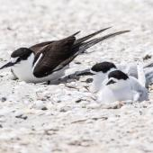 Sooty tern. Adult roosting with white-fronted terns. Rangaunu Harbour, November 2020. Image © Les Feasey by Les Feasey