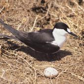 Sooty tern. Adult by nest with egg. Curtis Island, Kermadec Islands, November 1989. Image © Alan Tennyson by Alan Tennyson