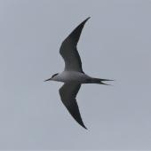Sooty tern. Adult in flight (first Chatham Islands record). Rangatira Island, Chatham Islands, February 2021. Image © Alan Tennyson by Alan Tennyson