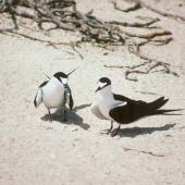 Sooty tern. Courting pair. Michaelmas Cay, August 1991. Image © Colin Miskelly by Colin Miskelly