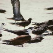 Sooty tern. Adults and immatures. Michaelmas Cay, August 1991. Image © Colin Miskelly by Colin Miskelly