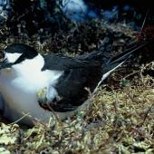 Sooty tern. Adult on nest containing an egg. Meyer Island, Kermadec Islands, December 1966. Image © Department of Conservation (image ref: 10037274) by Don Merton, Department of Conservation Courtesy of Department of Conservation
