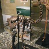 Eastern moa. Mounted skeleton in Otago Museum. Dunedin. Image © Alan Tennyson & Otago Museum by Alan Tennyson