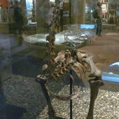 Eastern moa. Mounted skeleton in Otago Museum. Dunedin. Image © Alan Tennyson & Otago Museum by Alan Tennyson