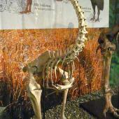 Eastern moa. Mounted skeleton in Otago Museum. Southland. Image © Alan Tennyson & Otago Museum by Alan Tennyson