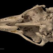 Eastern moa. Skull (ventral). Specimen registration no. S.000470; image no. MA_I251444. Pyramid Valley. Image © Te Papa See Te Papa website: http://collections.tepapa.govt.nz/objectdetails.aspx?irn=255183&term=S.000470