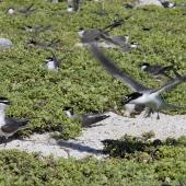 Grey-backed tern. Colony. Rawaki, Phoenix Islands, May 2008. Image © Mike Thorsen by Mike Thorsen