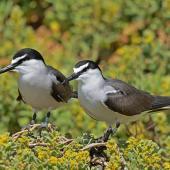 Bridled tern. Adult pair. Penguin Island, Rockingham, Western Australia, October 2019. Image © Philip Karstadt 2019 birdlifephotography.org.au by Philip Karstadt