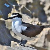 Bridled tern. Adult. Penguin Island, Rockingham, Western Australia, October 2018. Image © Philip Karstadt 2018 birdlifephotography.org.au by Philip Karstadt