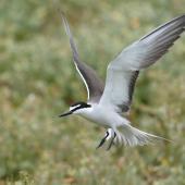 Bridled tern. Adult in flight. Penguin Island, Western Australia, December 2015. Image © Allan Rose 2017 birdlifephotography.org.au by Allan Rose