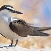 Bridled tern. Adult. Penguin Island, Western Australia, January 2019. Image © Chris Young 2019 birdlifephotography.org.au by Chris Young