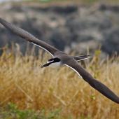 Bridled tern. Adult in flight. Penguin Island, Western Australia, October 2015. Image © Ken Glasson 2015 birdlifephotography.org.au by Ken Glasson