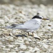 Little tern. Non-breeding. Kidds Beach, February 2012. Image © John Woods by John Woods