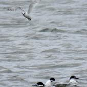 Little tern. Adult flying above white-fronted terns. Foxton estuary, January 2017. Image © Scott Brooks (ourspot) by Scott Brooks