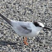 Little tern. Nonbreeding adult. Ahuriri estuary, Napier, November 2013. Image © Graham Randle by Graham Randle
