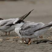 Little tern. Non-breeding adults. Waikanae River estuary, October 2017. Image © Roger Smith by Roger Smith