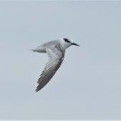 Little tern. Adult in worn non-breeding plumage (in flight). Manawatu River estuary, December 2020. Image © Alan Tennyson by Alan Tennyson