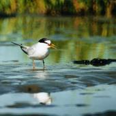 Little tern. Adult in breeding plumage. Manawatu River estuary, February 1999. Image © Alex Scott by Alex Scott