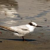Little tern. Adult in non-breeding plumage. Manawatu River estuary, November 2013. Image © Alex Scott by Alex Scott