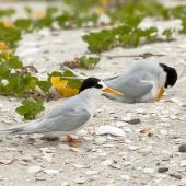 Fairy tern. Pair at nest. Waipu estuary, Northland, November 2012. Image © Malcolm Pullman by Malcolm Pullman www.pullmanpix.kiwi.nz