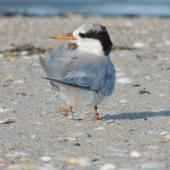 Fairy tern. Post-breeding adult. Waipu estuary, March 2014. Image © Susan Steedman by Susan Steedman