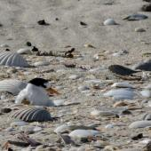 Fairy tern. Adult with egg shell at nest (newly-hatched chick being brooded). Waipu Wildlife Refuge, December 2016. Image © Susan Steedman by Susan Steedman