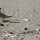 Fairy tern. Adult returning to nest after depositing eggshell nearby. Waipu Wildlife Refuge, December 2016. Image © Susan Steedman by Susan Steedman