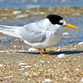 Fairy tern. Adult. Waipu estuary, October 2014. Image © Les Feasey by Les Feasey